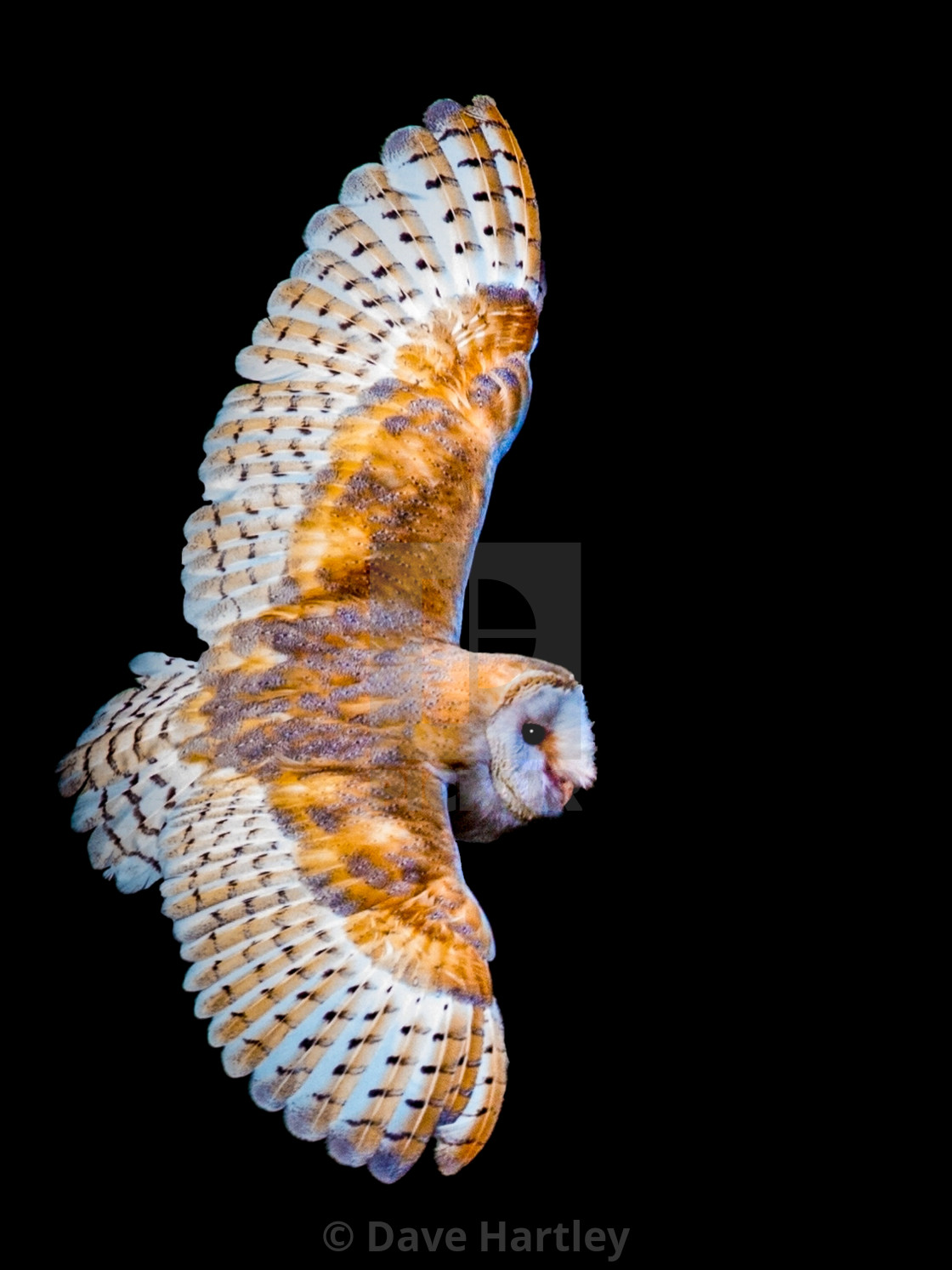 Night Owl - License, download or print for £18 60   Photos