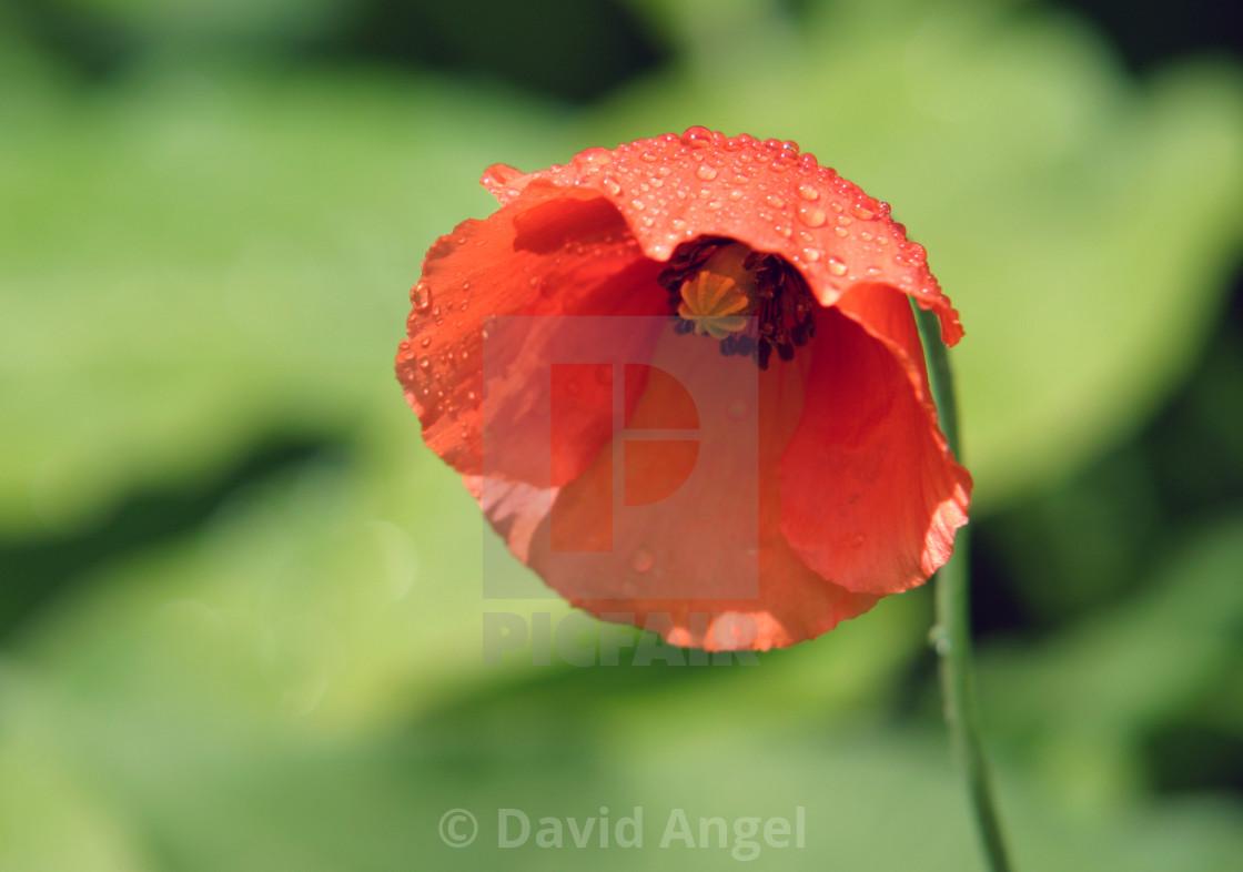 """Jersey Poppy"" stock image"