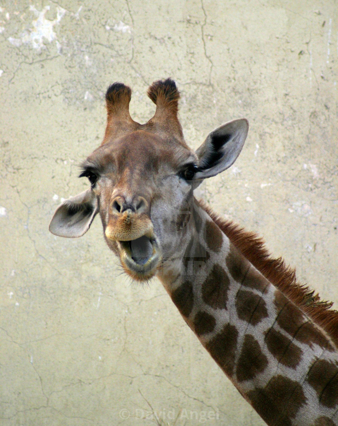 """Talking Giraffe"" stock image"