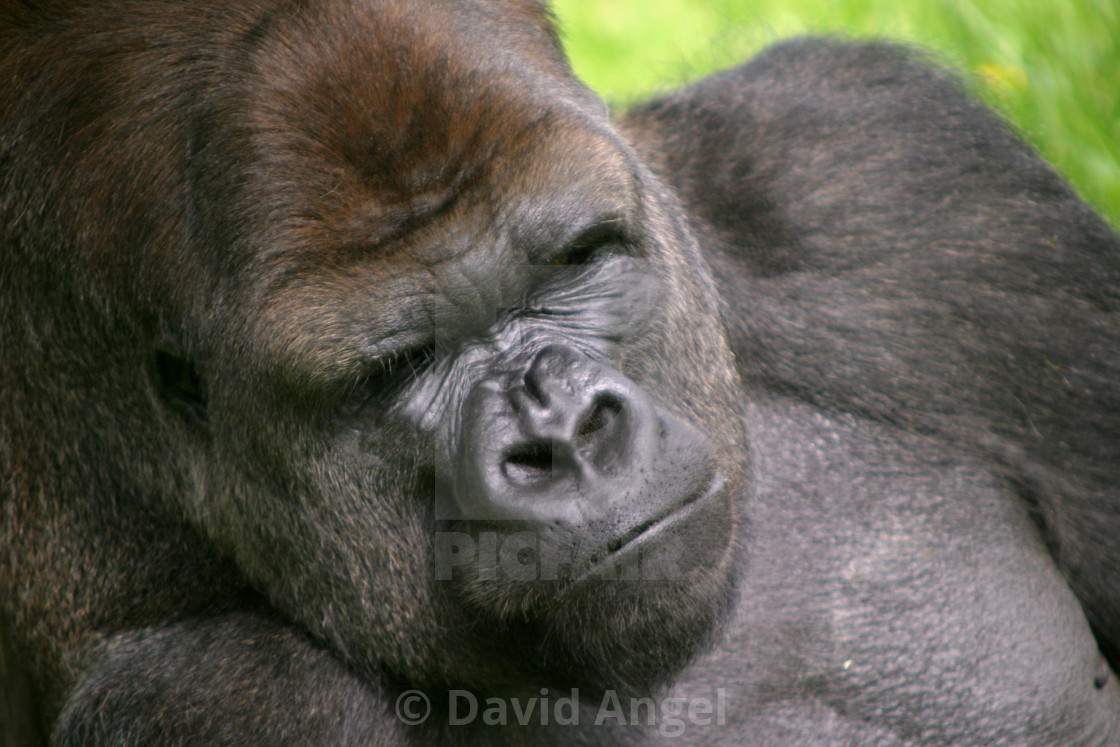 """Jersey Silverback"" stock image"