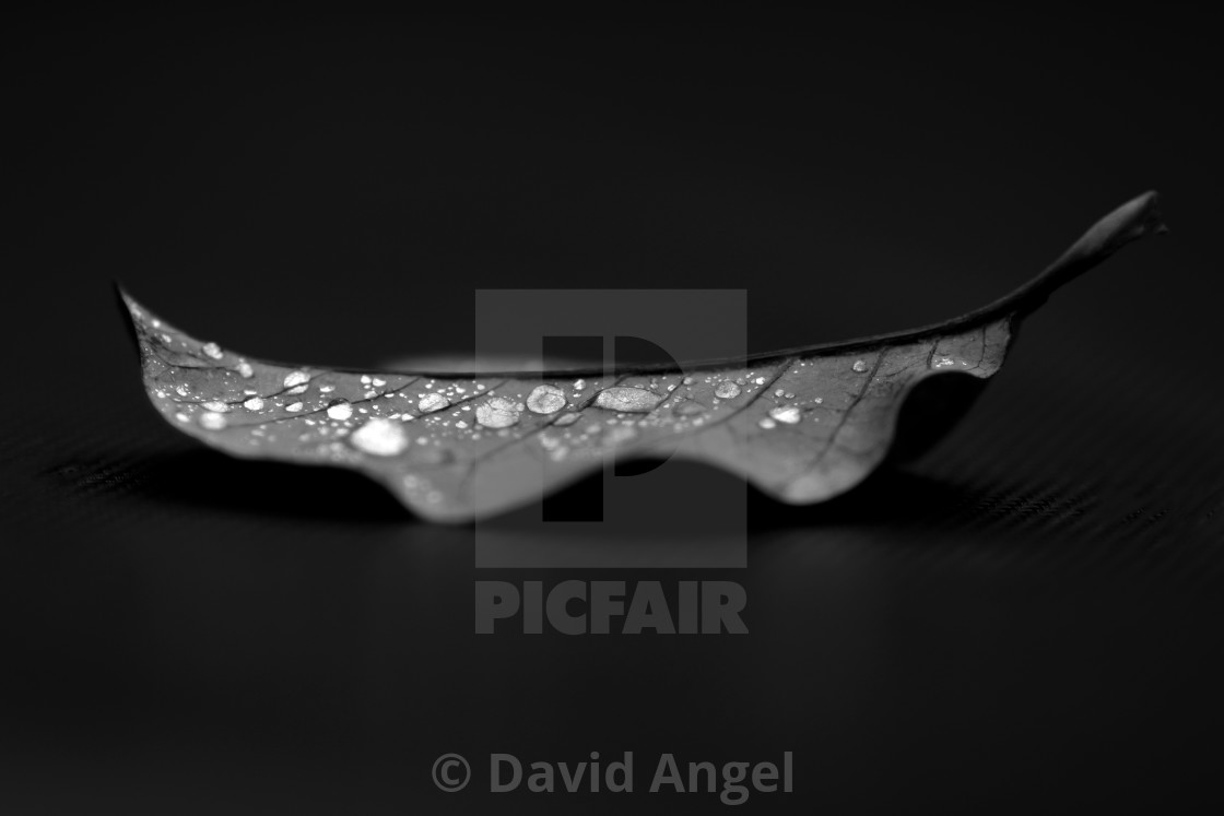 """""""Leaf after rain, black and white"""" stock image"""