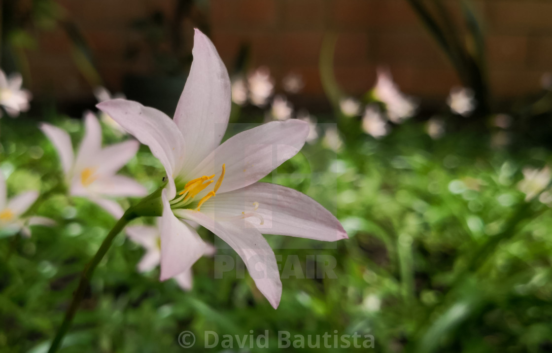 Beautiful Pale Pink Flower Rain Lily Zephyranthes Ornamental