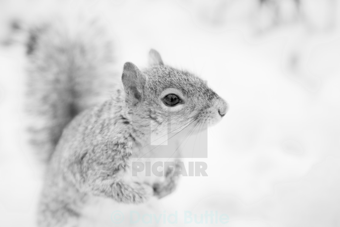 """Squirrel in the Snow"" stock image"