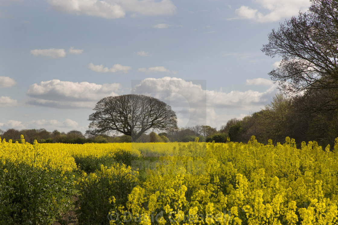 """Brimstage Rapeseed Field"" stock image"