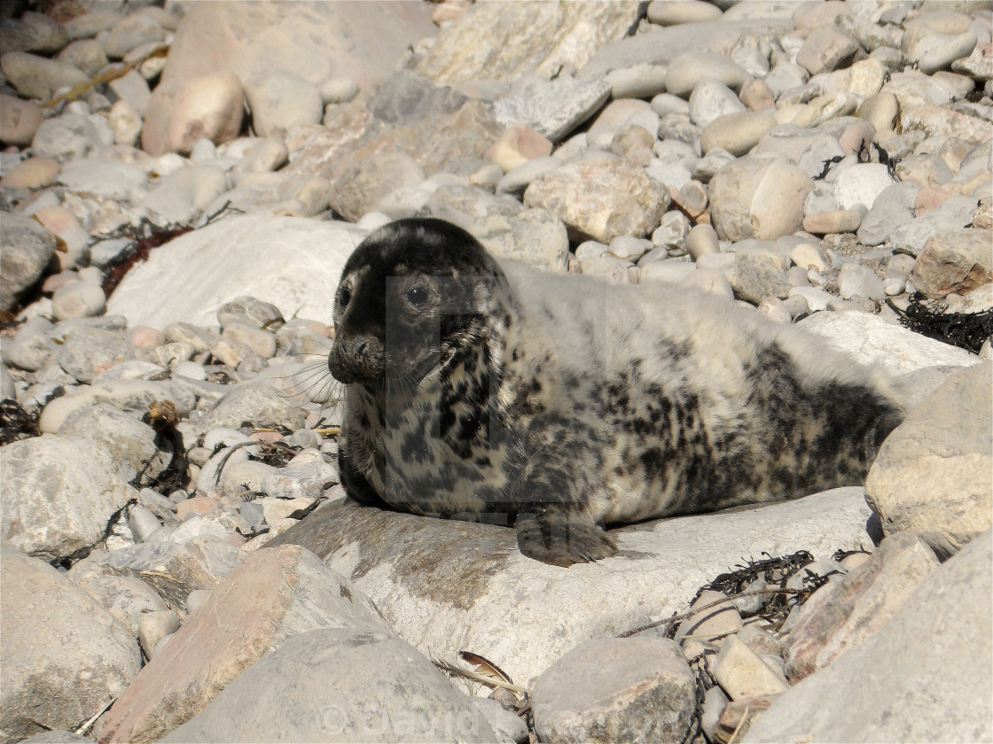Seal pup on Pembrokeshire beach.