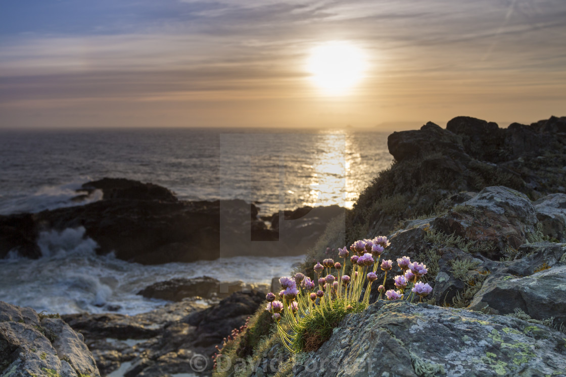 """Thrift Flowers at Sunrise, Cornwall"" stock image"