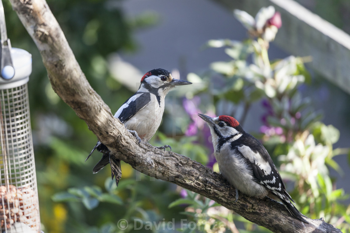 """""""Male Great Spotted Woodpecker and Young"""" stock image"""