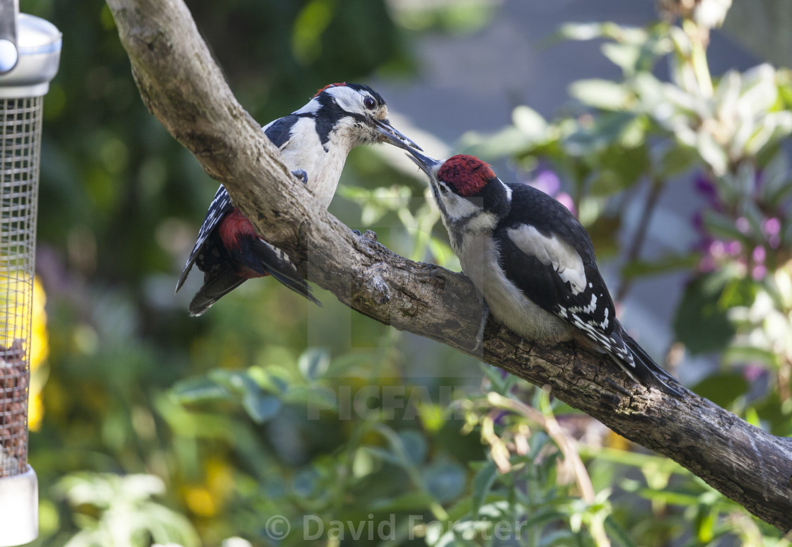 """Male Great Spotted Woodpecker Feeding its Young"" stock image"