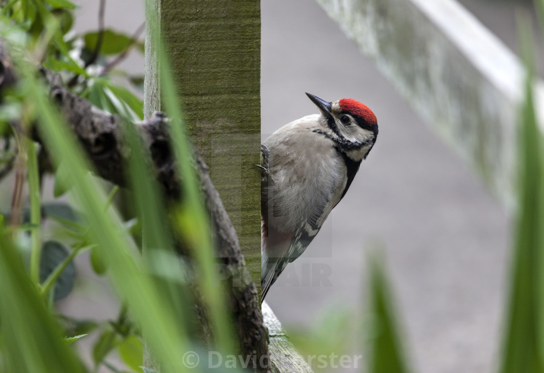"""""""Newly Fledged Great Spotted Woodpecker (Dendrocopus major)"""" stock image"""