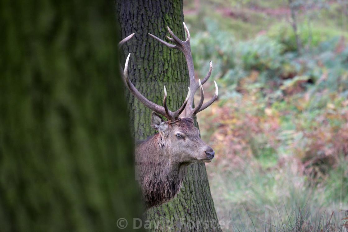 """Red Deer Stag (Cervus Elaphus) in a Woodland Environment UK"" stock image"