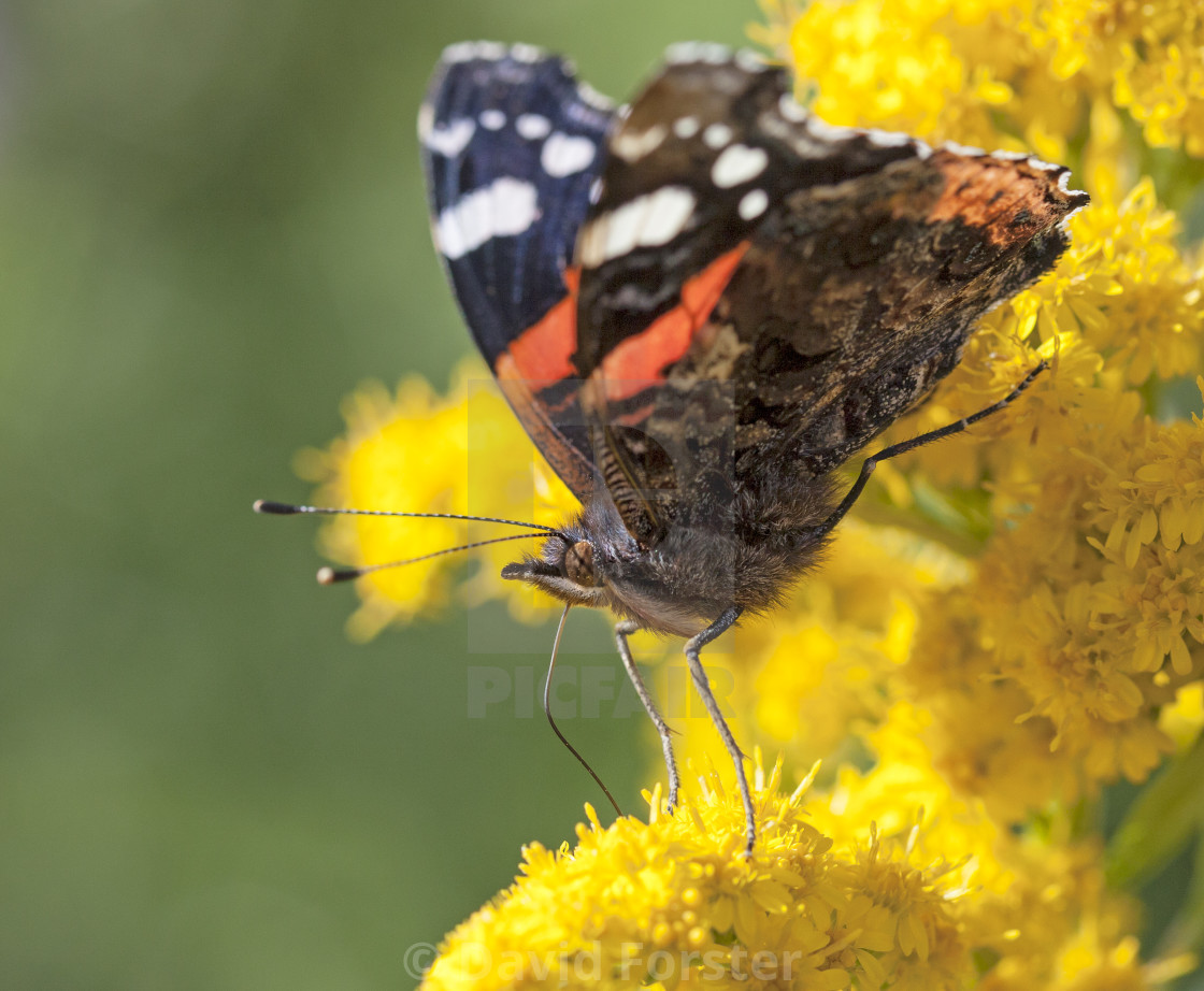 """Red Admiral Butterfly (Vanessa atalanta) Feeding, UK"" stock image"