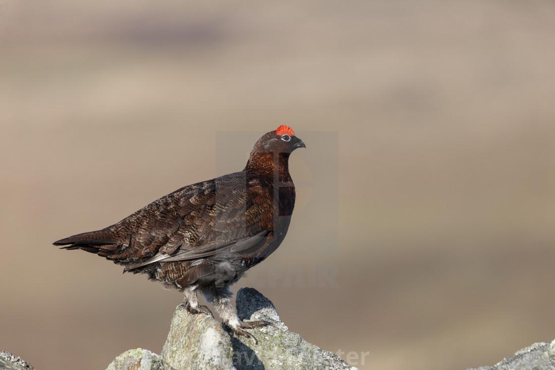 """Red Grouse Lagopus lagopus, North Pennines UK"" stock image"