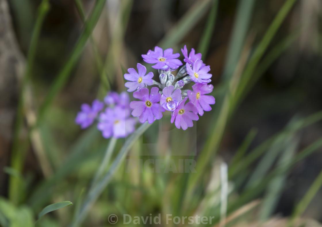 """Bird's-Eye Primrose (Primula farinose) North Pennines Teesdale"" stock image"