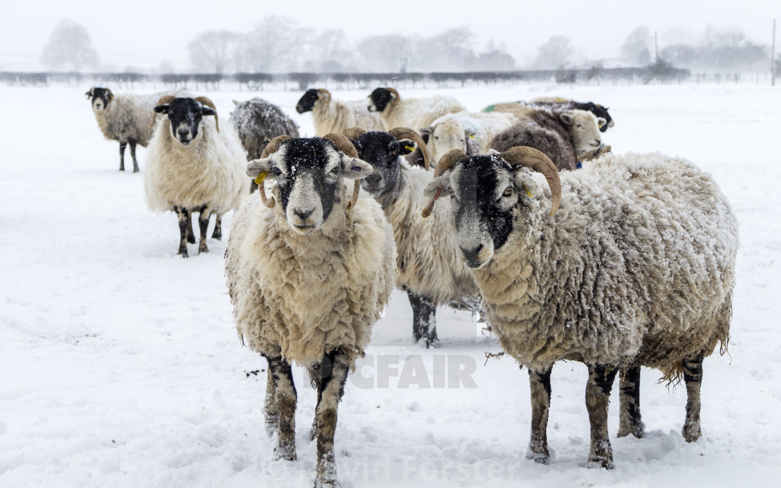 """Sheep waiting for their Feed as the snow blows around them, UK"" stock image"