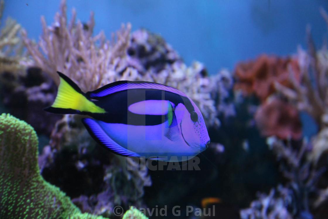 """""""Regal Tang Fish"""" stock image"""