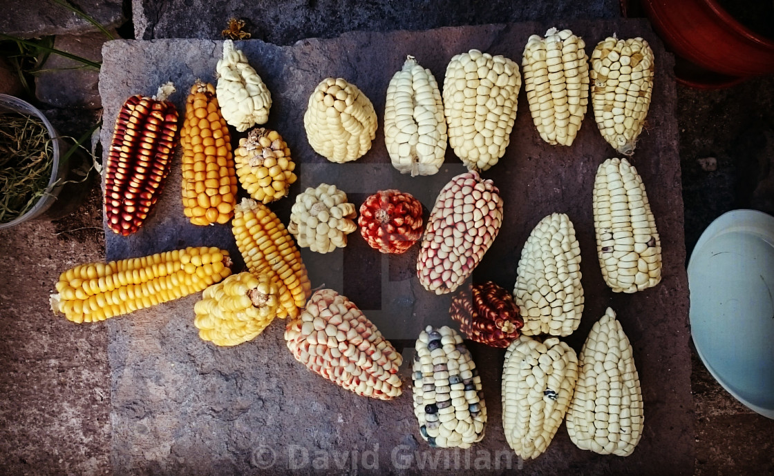 """Andean Corn"" stock image"