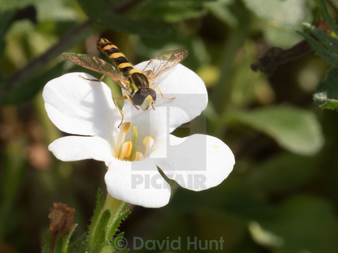 """Hover Fly"" stock image"