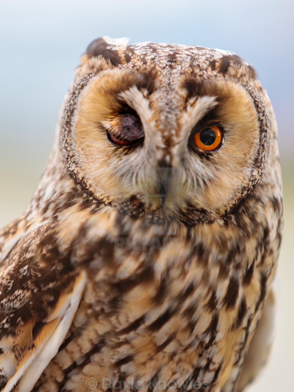 """""""Winking Owl"""" stock image"""