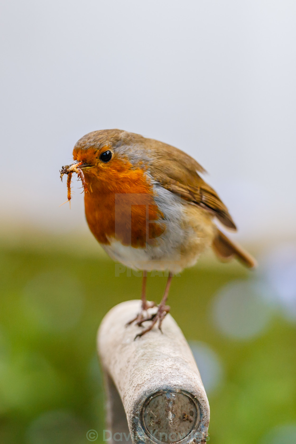 """Robin on a Fork handle"" stock image"