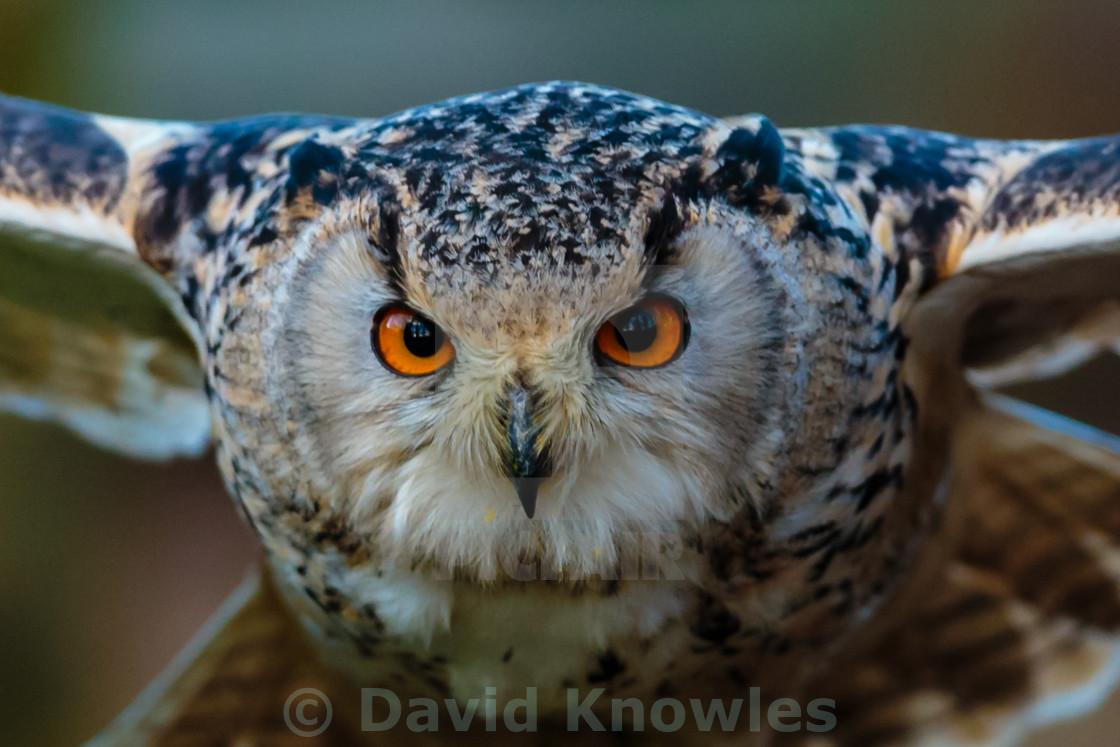 """Siberian Eagle Owl eyes of a Hunter"" stock image"