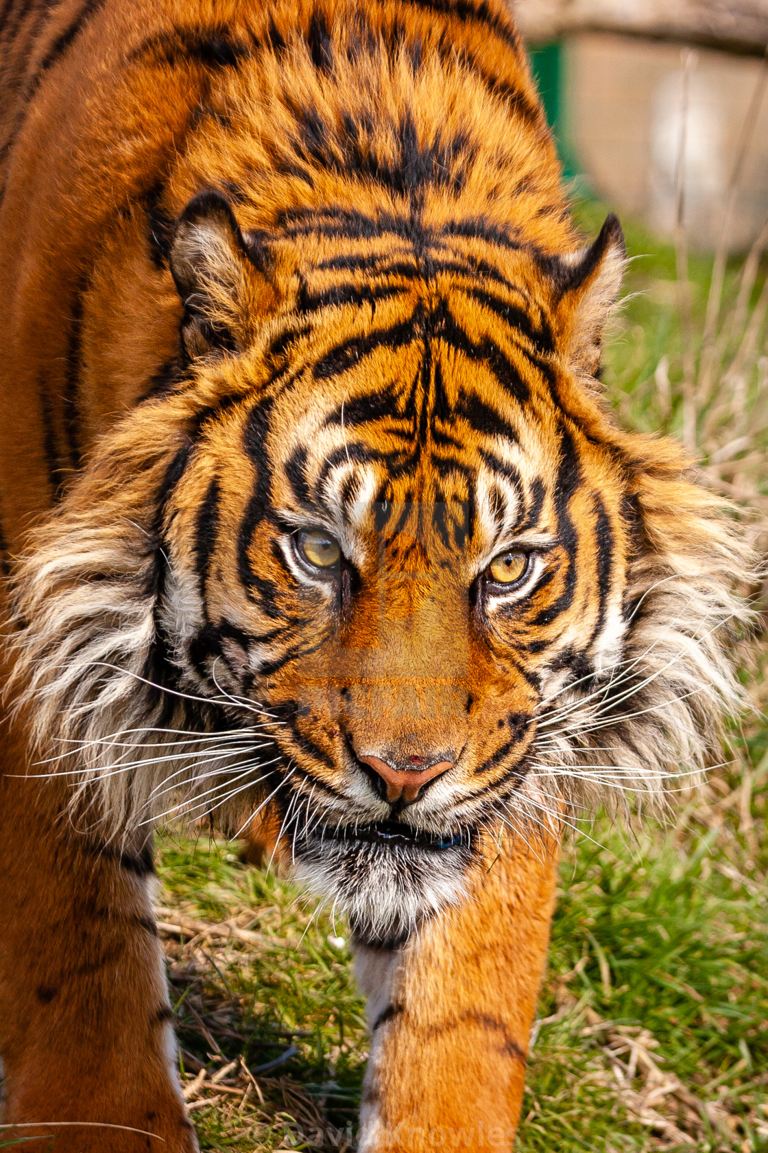 """Face of a Sumatran Tiger"" stock image"