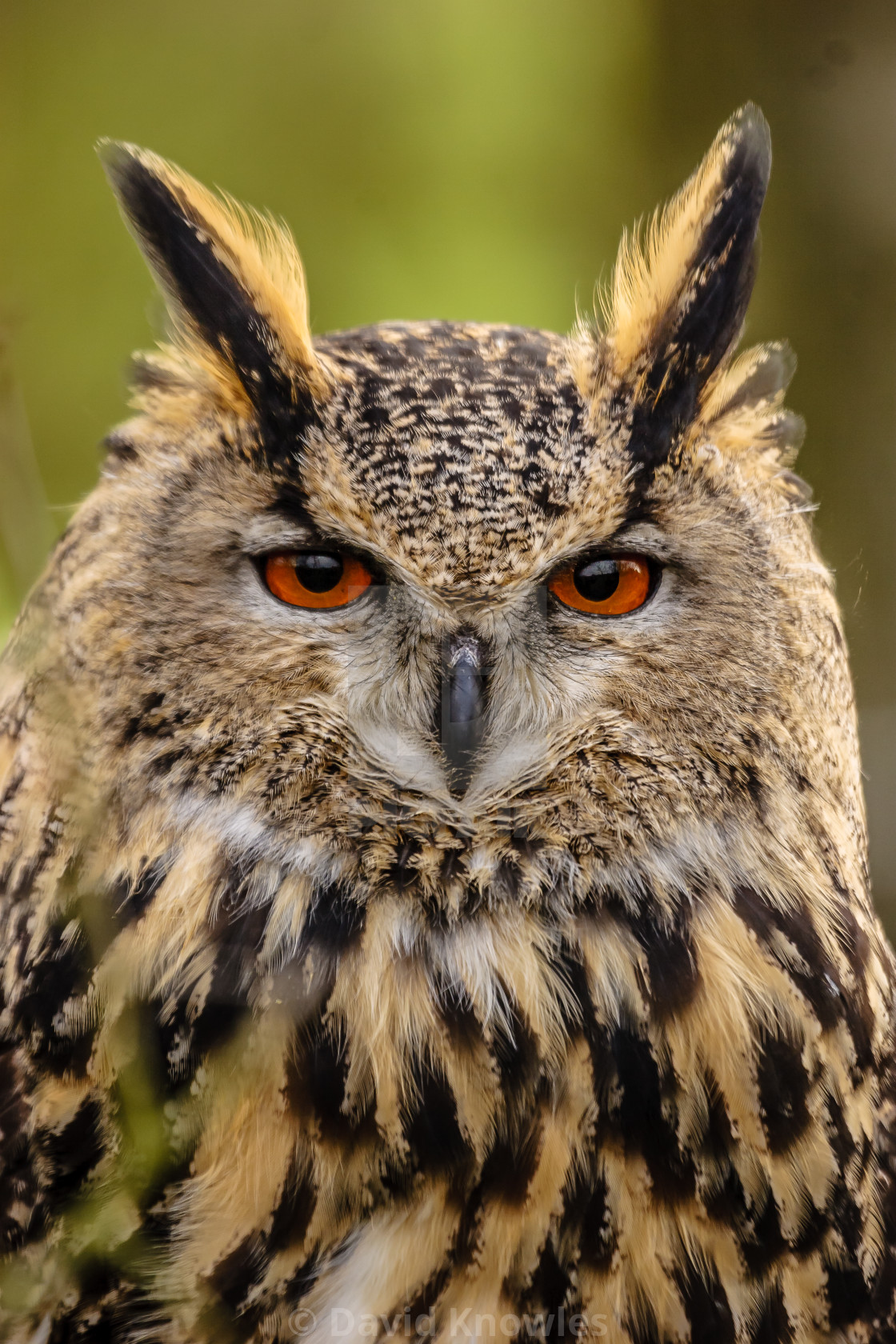 """European Eagle Owl on Guard"" stock image"