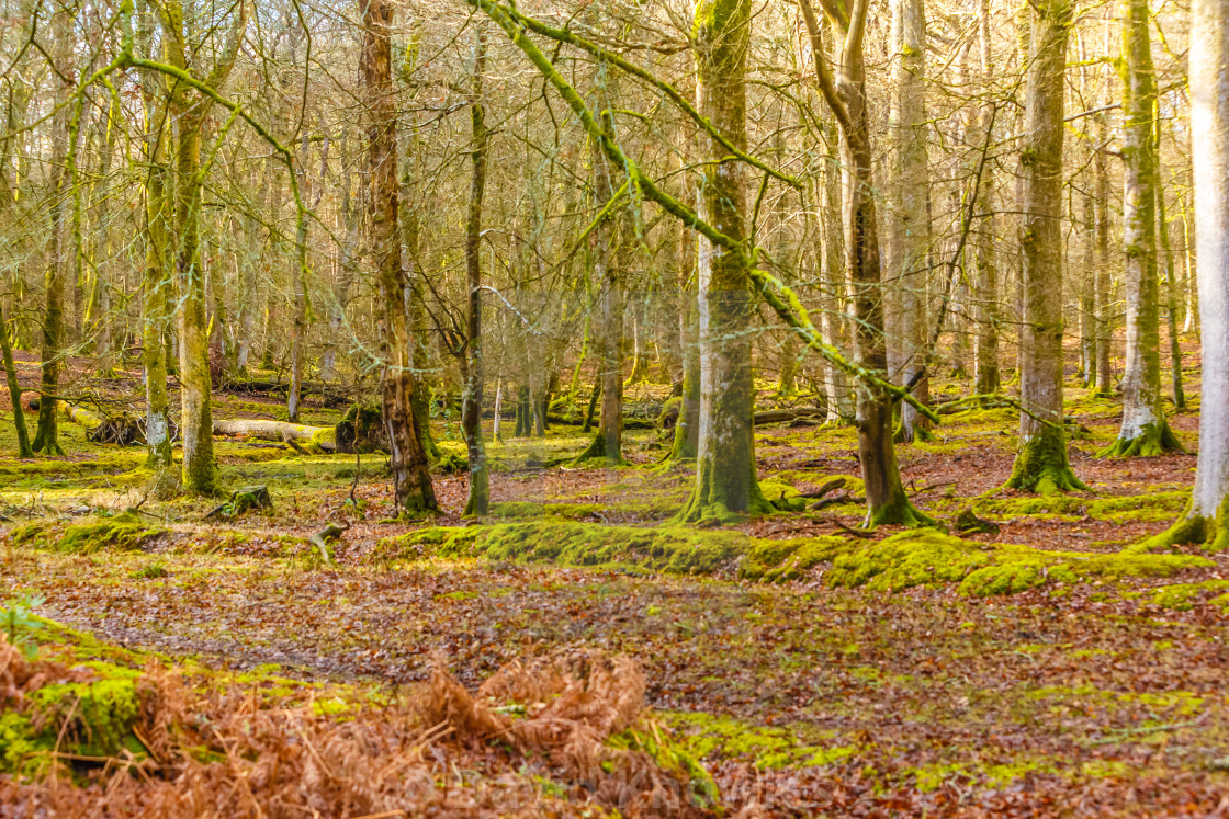 """winter woodland"" stock image"