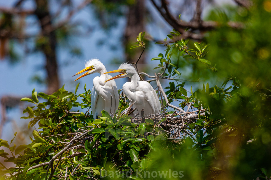 """Great White Egret Chicks - Ardea alba"" stock image"