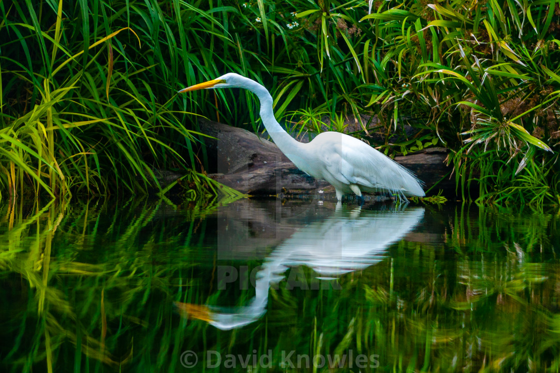 """Great White Egret Reflections - Ardea alba"" stock image"