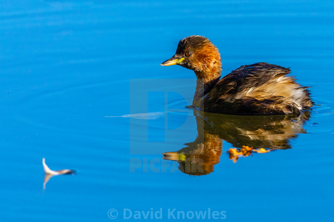 """Reflections of Little Grebe Tachybaptus ruficollis"" stock image"