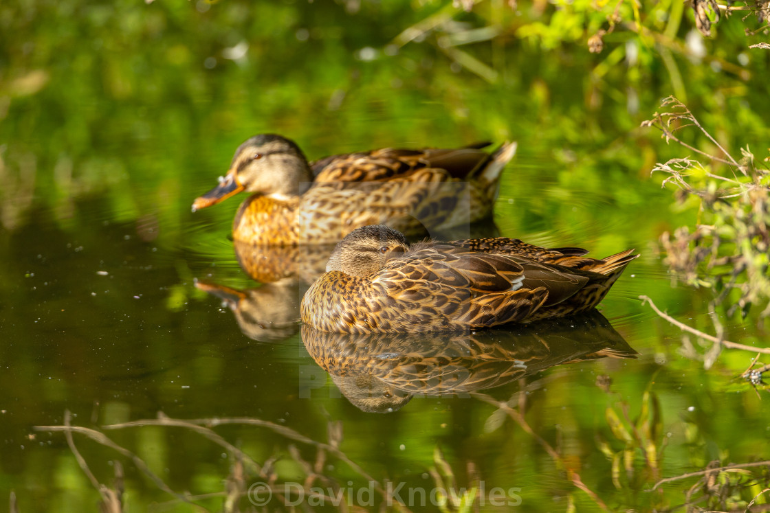 """Mallard Ducks, Anas platyrhynchos with Reflections"" stock image"