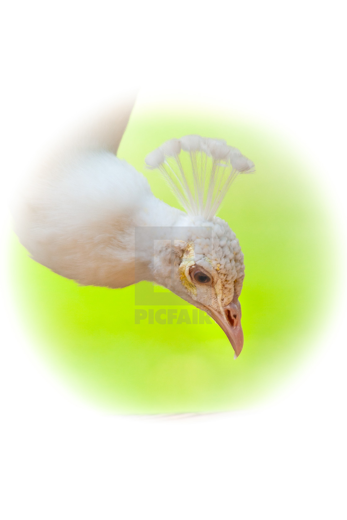 """White Peacock head"" stock image"
