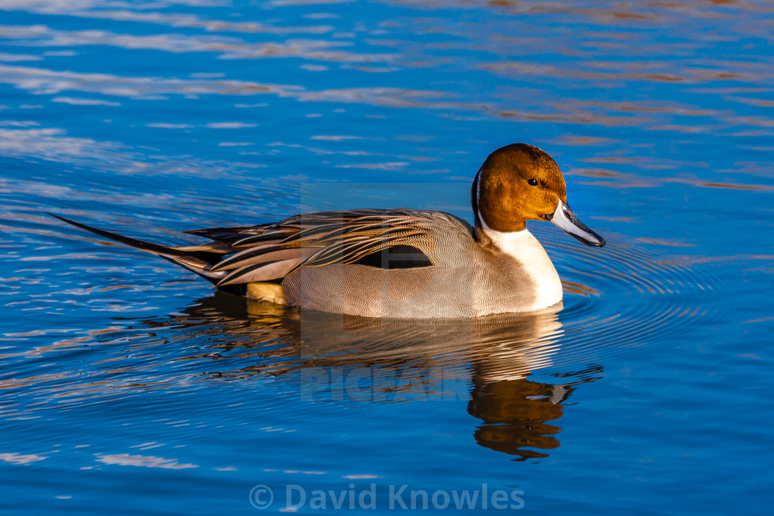 """Pintail Drake on a sunlit pond"" stock image"