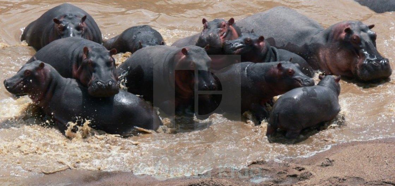 """""""Free hippos in africa splashing around"""" stock image"""