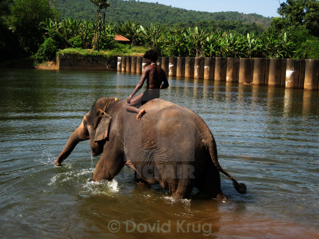 """""""Domesticated elephant glad to see water"""" stock image"""