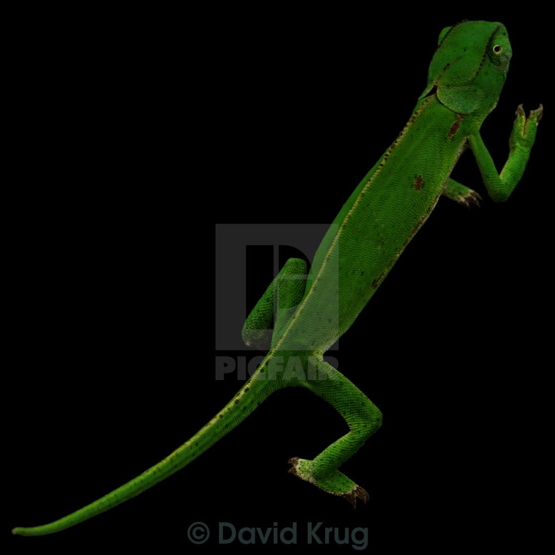 """Chameleon on black background"" stock image"