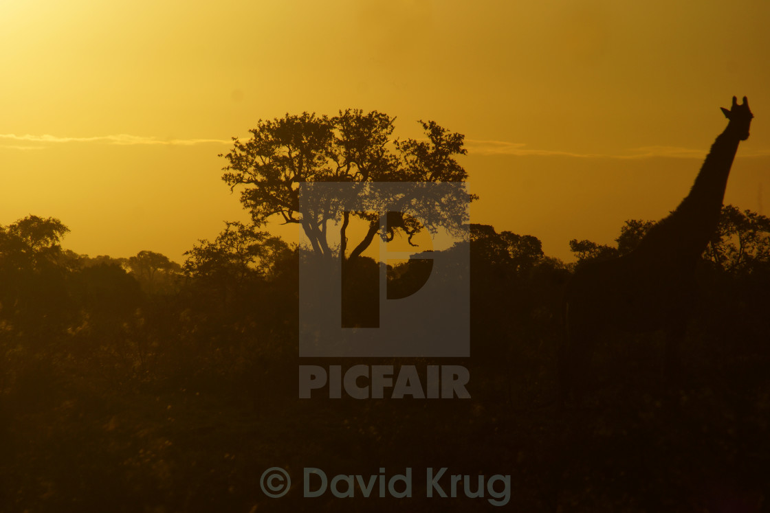 """Giraffe in sunset"" stock image"