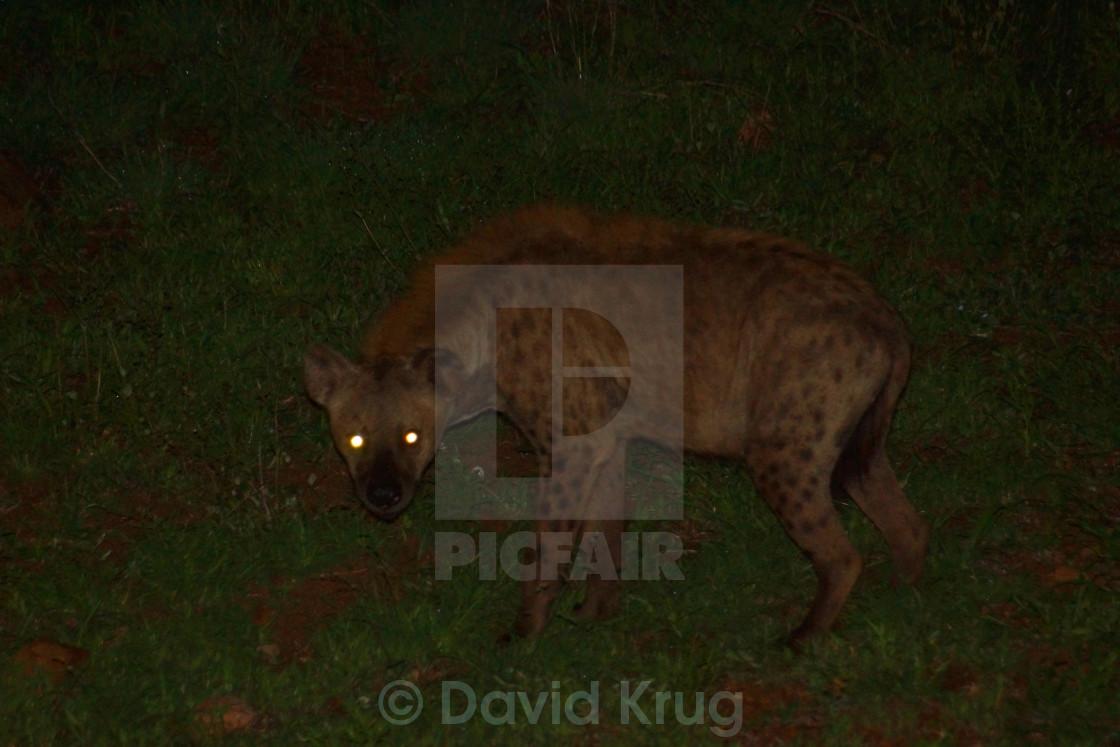 """Hyena at night"" stock image"