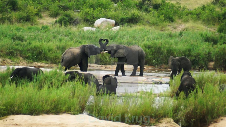 """Heart. Elephants holding trunks like heart."" stock image"