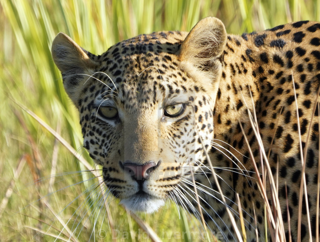 """Young Male Leopard close up"" stock image"