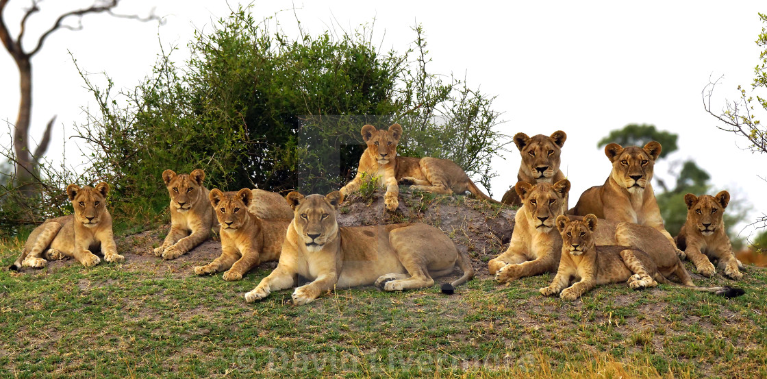 Lion pride - License, download or print for £5.00 | Photos | Picfair