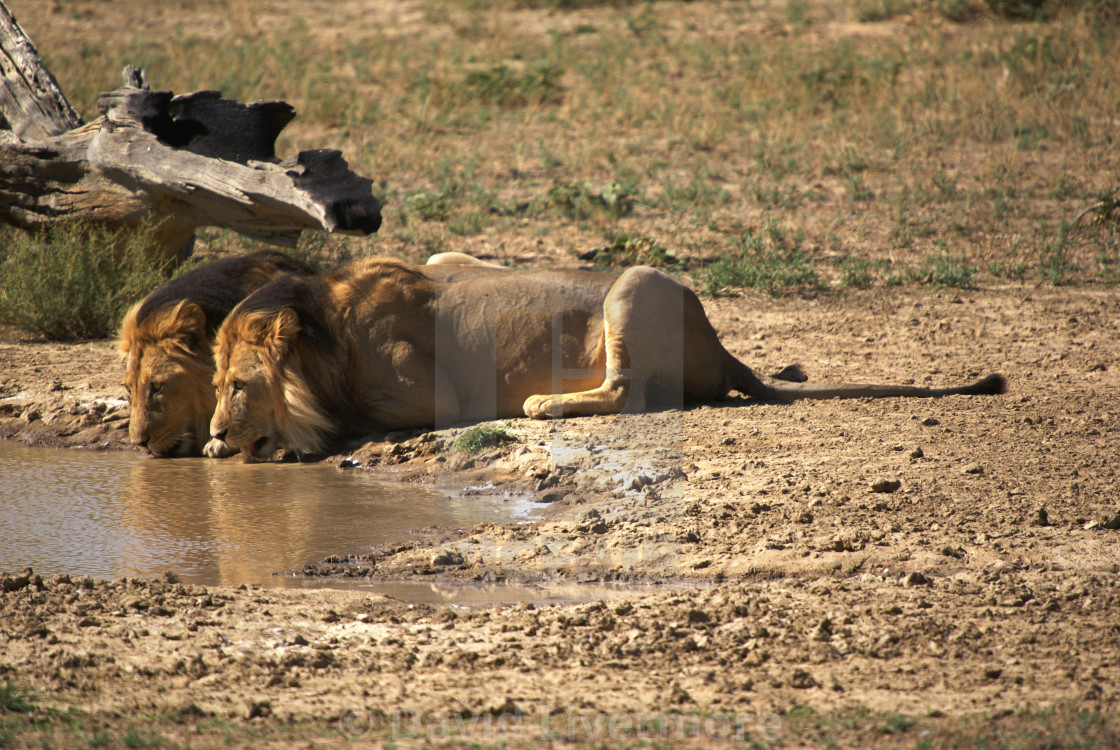 """Kalahari BlacK Maned Lions"" stock image"