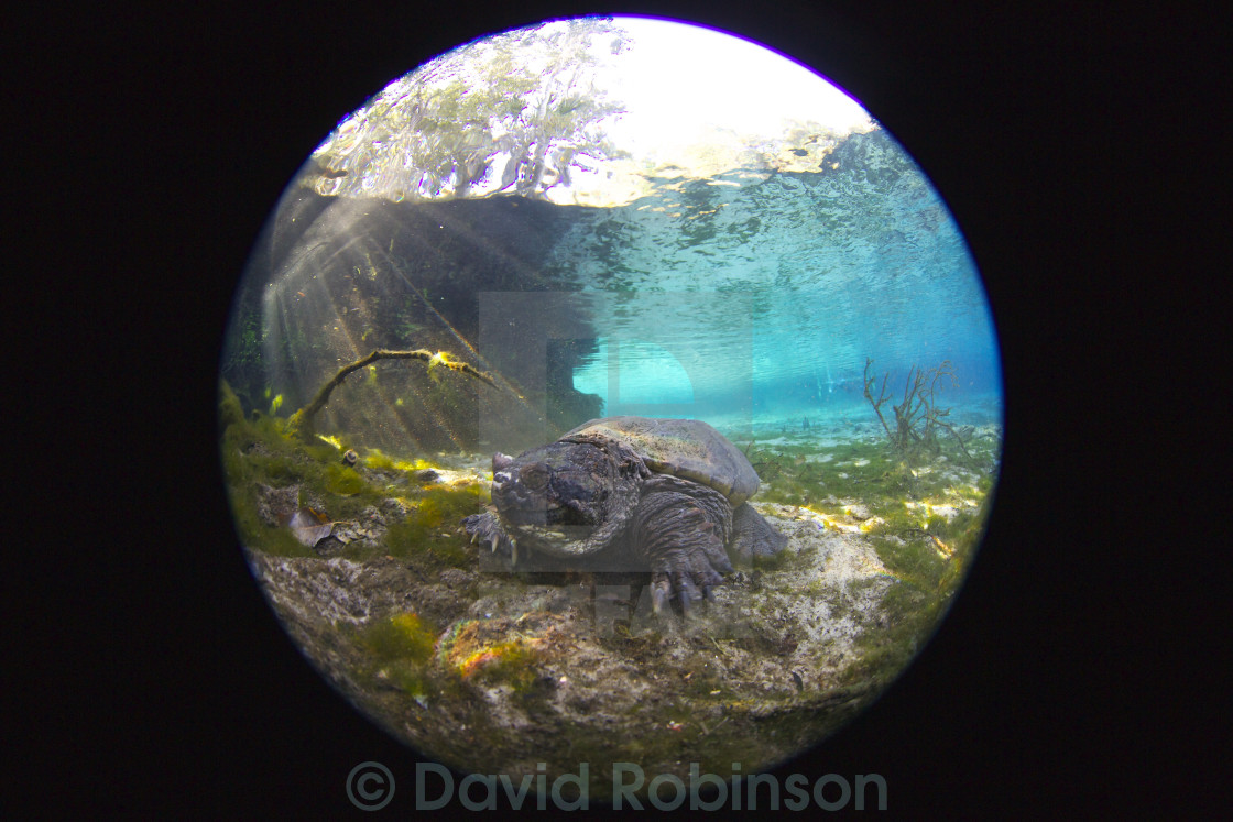 Alligator Snapping Turtle - License, download or print for £37 14
