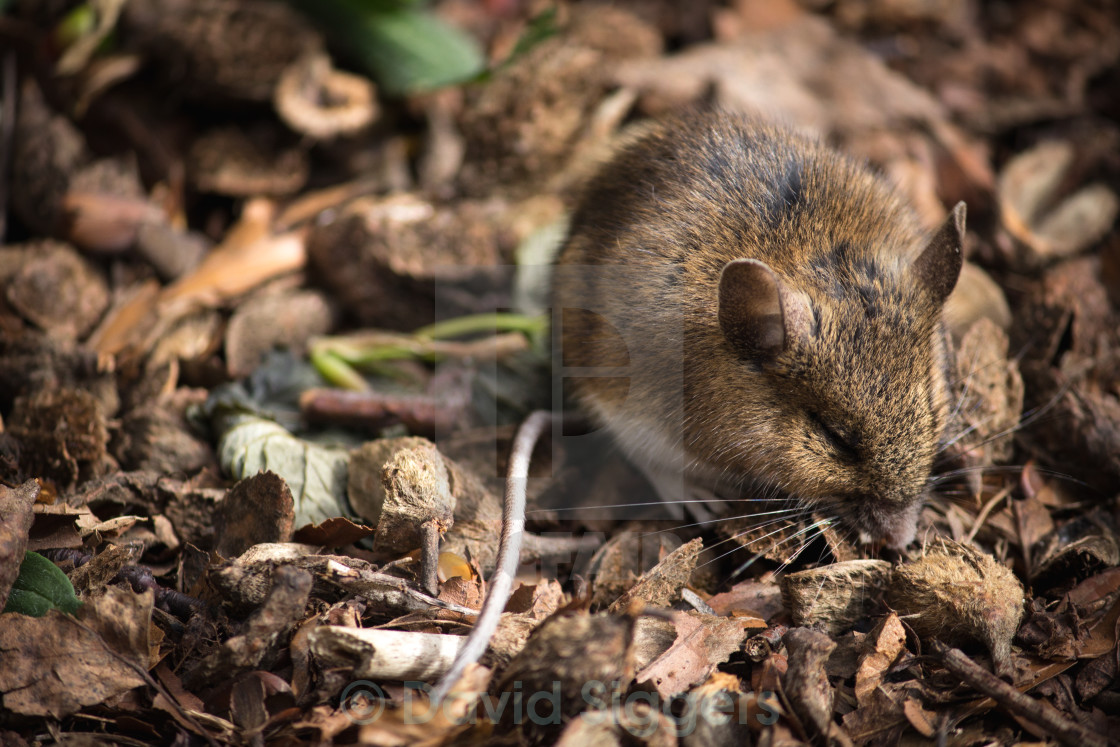 """""""Young Field Mouse"""" stock image"""
