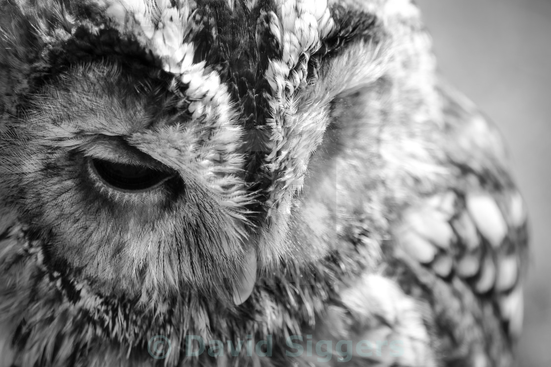 """Tawny Owl Black and White"" stock image"