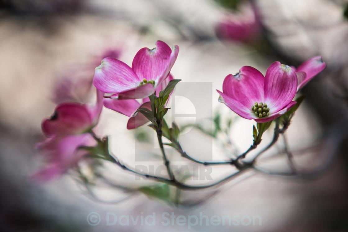 """Pink Dogwood Flower"" stock image"