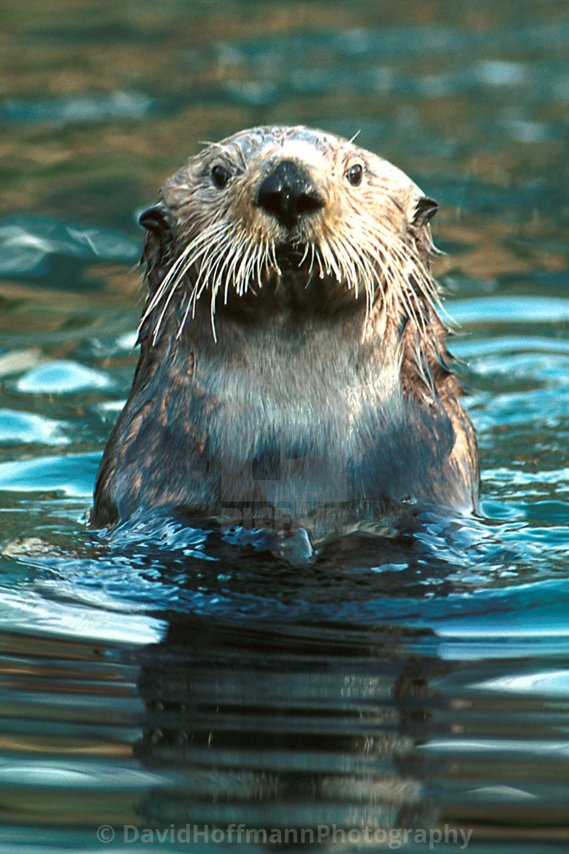 """Sea Otter (Enhydra lutris)"" stock image"