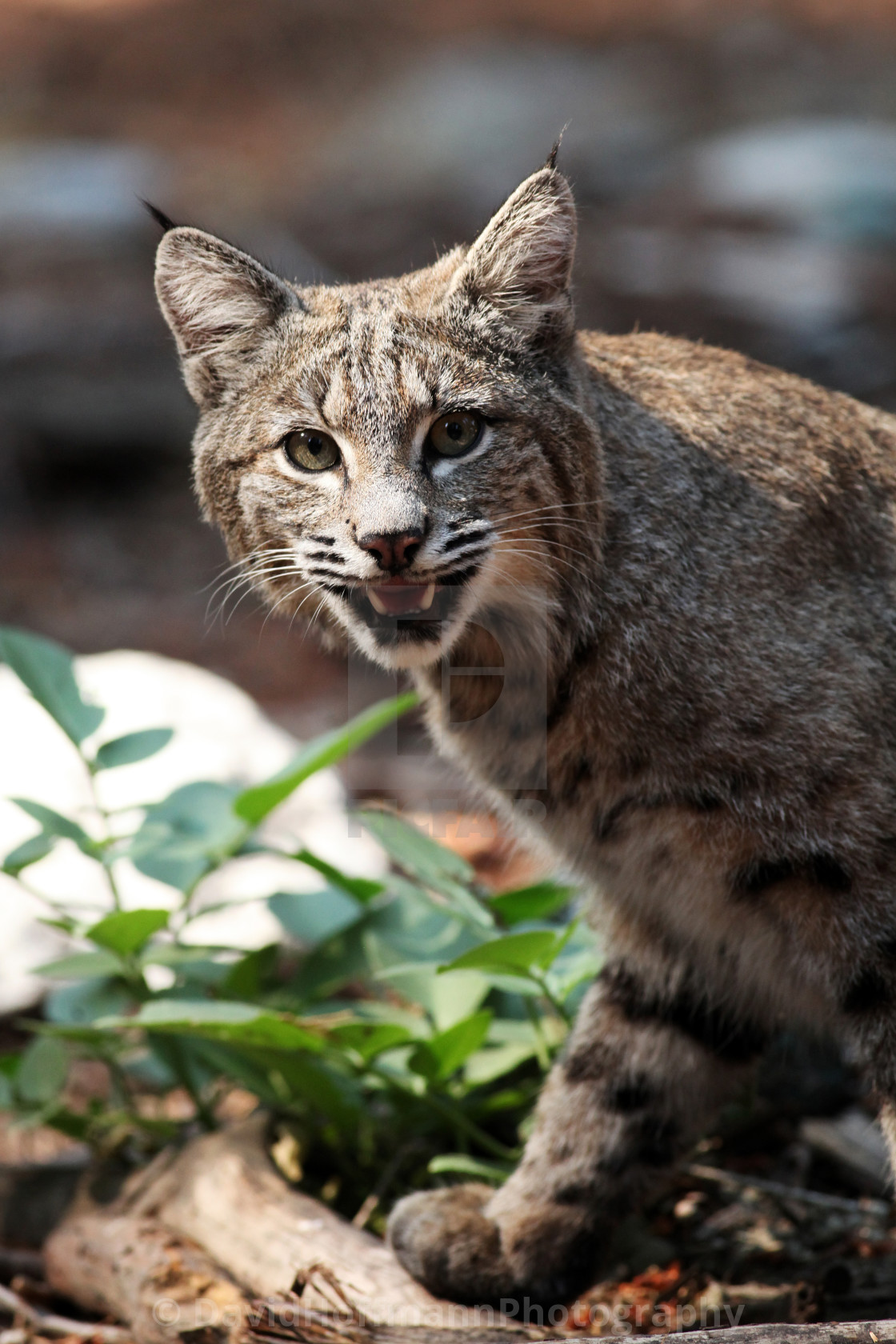 """""""Bobcat shows his teeth and looks into camera (Lynx rufus), Calif"""" stock image"""