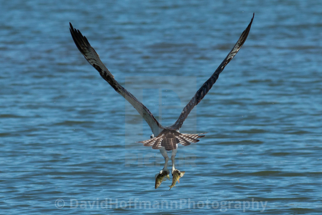 """""""Osprey catches two fish at the same time and grasps one in each"""" stock image"""