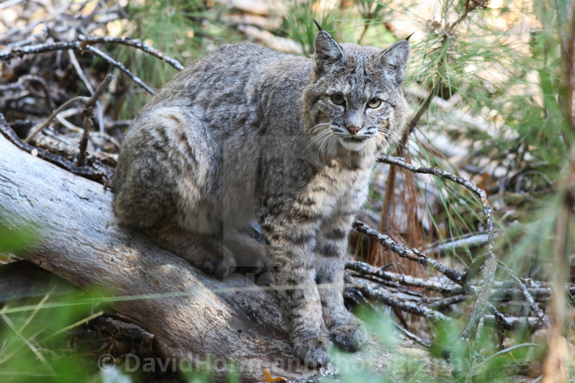 """Bobcat sitting on a log in Yosemite National Park."" stock image"